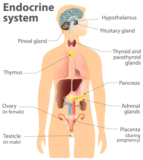 the endocrine system - drborger | the endocrine center - caryn, Human Body